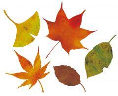 旧暦の8月、葉月は葉が落ちる月